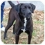 Photo 3 - Labrador Retriever/Boxer Mix Dog for adoption in kennebunkport, Maine - Stew