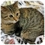 Photo 1 - Domestic Shorthair Kitten for adoption in Mt. Prospect, Illinois - Ariel