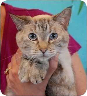 Siamese Cat for adoption in Las Vegas, Nevada - Ruby