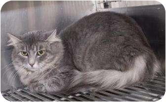 Domestic Mediumhair Cat for adoption in Dayton, Ohio - Chalupa