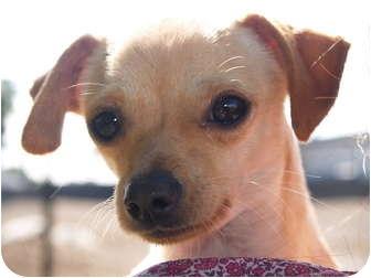Chihuahua Dog for adoption in El Cajon, California - Squirt