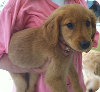 Golden Retriever Puppy for adoption in New Canaan, Connecticut - Kendra