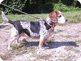 "Beagle Dog for adoption in New Castle, Pennsylvania - "" Mudsy """