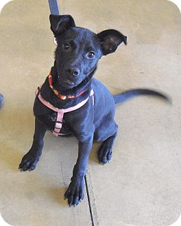 Australian Kelpie Mix Puppy for adoption in Wickenburg, Arizona - Chester