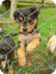 Shepherd (Unknown Type)/Australian Shepherd Mix Puppy for adoption in Media, Pennsylvania - Quark