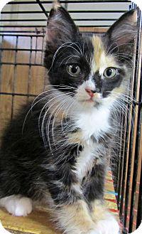 Calico Kitten for adoption in Seminole, Florida - Cassity