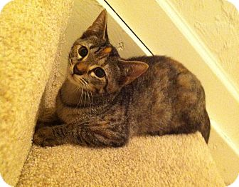 Domestic Shorthair Kitten for adoption in Gainesville, Florida - Krishna