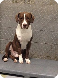 American Staffordshire Terrier Mix Dog for adoption in MARION, Virginia - Trooper
