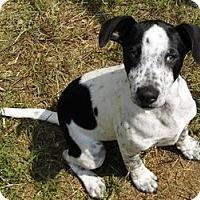 Adopt A Pet :: Beamer - Bel Air, MD