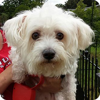 Maltese/Terrier (Unknown Type, Small) Mix Dog for adoption in St. Petersburg, Florida - Maiya