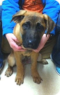 German Shepherd Dog/Bullmastiff Mix Puppy for adoption in Battle Creek, Michigan - Norman