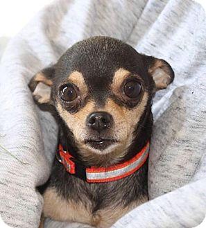 Chihuahua Dog for adoption in Sherman Oaks, California - WYNKEN