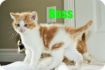 Domestic Shorthair Kitten for adoption in Huntsville, Ontario - Ross - Adopted - June 2015