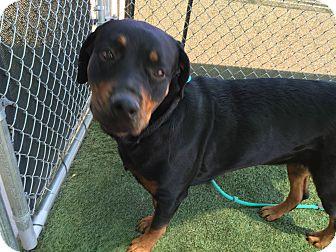 Rottweiler Dog for adoption in Gilbert, Arizona - Farley