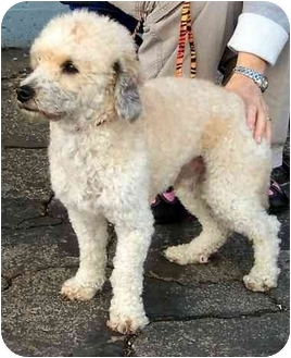 Poodle (Miniature) Dog for adoption in West Los Angeles, California - Newton