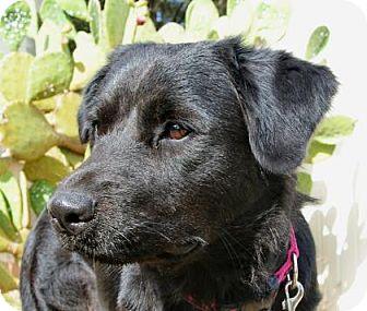 Flat-Coated Retriever/Labrador Retriever Mix Dog for adoption in Bulverde, Texas - Yvette