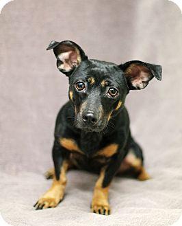 Dachshund/Rat Terrier Mix Dog for adoption in Marietta, Georgia - Athens