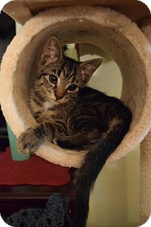 Domestic Shorthair Cat for adoption in Walworth, New York - Rugger