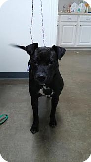 Labrador Retriever/Pit Bull Terrier Mix Dog for adoption in China, Michigan - Lady