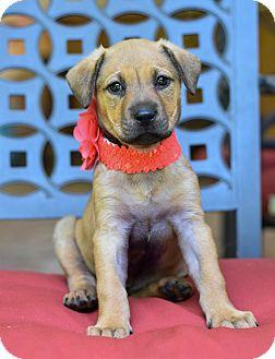 Hound (Unknown Type)/Retriever (Unknown Type) Mix Puppy for adoption in Baton Rouge, Louisiana - Ruthie
