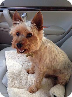 Yorkie, Yorkshire Terrier Dog for adoption in Hot Springs, Virginia - Mokie