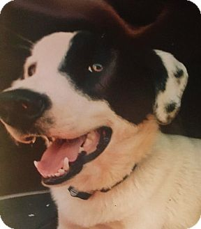 Labrador Retriever/Border Collie Mix Dog for adoption in cedar grove, Indiana - Sawyer/COURTESY POST