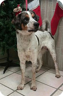 Catahoula Leopard Dog Mix Dog for adoption in Newburgh, Indiana - Geyser