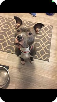 American Pit Bull Terrier Mix Dog for adoption in Anchorage, Alaska - Chena