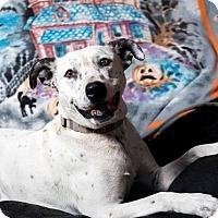 Adopt A Pet :: Harvey - Lompoc, CA