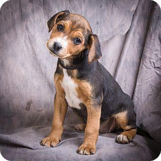 Miniature Pinscher/Beagle Mix Puppy for adoption in Anna, Illinois - BESS
