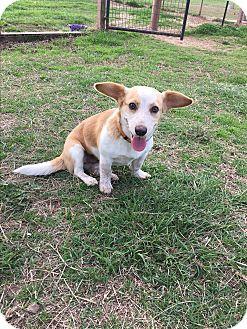 Beagle/Corgi Mix Dog for adoption in Natchitoches, Louisiana - Bella