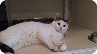 Domestic Shorthair Cat for adoption in Elizabeth City, North Carolina - Gauice