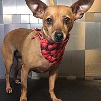 Adopt A Pet :: Madi - McKinney, TX
