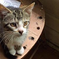 Adopt A Pet :: Elle - LaGrange Park, IL