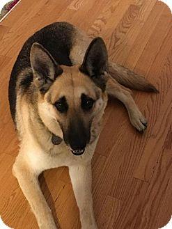 German Shepherd Dog Dog for adoption in Sterling, Virginia - Reyna 5455