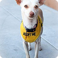 Chihuahua Mix Dog for adoption in Apple Valley, Utah - Fiona