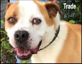 American Bulldog Mix Dog for adoption in West Columbia, South Carolina - Trade