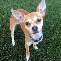 Adopt A Pet :: Allie! FOSTER NEEDED! - New York, NY