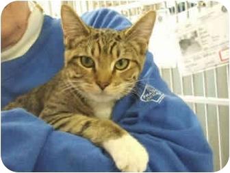 Domestic Shorthair Cat for adoption in San Clemente, California - DIESEL