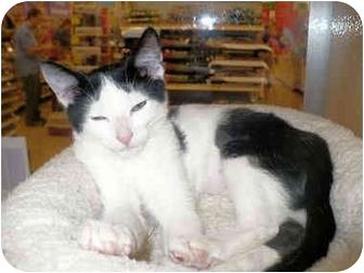 Domestic Shorthair Kitten for adoption in Colmar, Pennsylvania - Tootsie