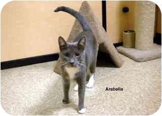 Domestic Shorthair Cat for adoption in Levittown, New York - Arabella