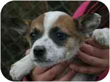 Jack Russell Terrier Mix Puppy for adoption in Foster, Rhode Island - Paris