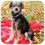 Photo 1 - Yorkie, Yorkshire Terrier/Rat Terrier Mix Dog for adoption in Anderson, Indiana - Foster