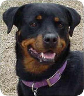 Rottweiler Dog for adoption in Austin, Texas - Brigette