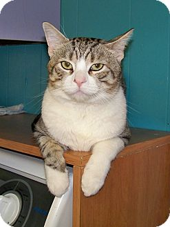 Domestic Shorthair Cat for adoption in Dover, Ohio - Bear