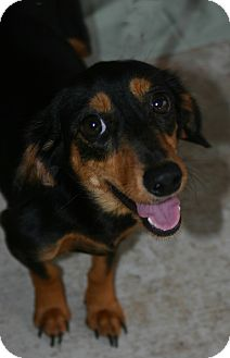 Dachshund Mix Dog for adoption in Oviedo, Florida - Lilly