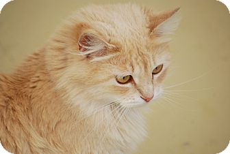 Maine Coon Cat for adoption in Trevose, Pennsylvania - Blondi