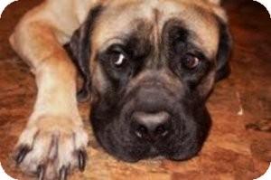 English Mastiff Dog for adoption in Bartonsville, Pennsylvania - ZEUS