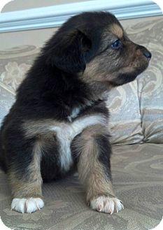 Australian Shepherd/Border Collie Mix Puppy for adoption in waterbury, Connecticut - DAWN