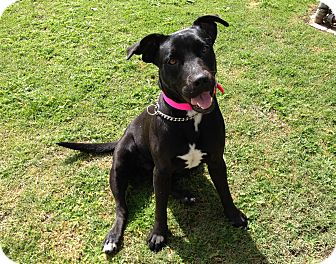 Labrador Retriever Mix Dog for adoption in Mission Viejo, California - Penelope